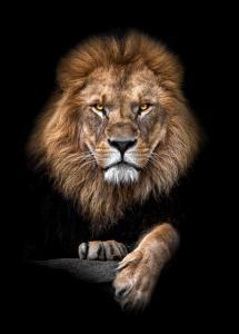 Lagervaror egen produktion Focused Lion Color Poster